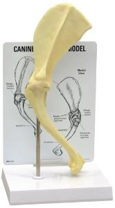 GPI Anatomicals® Canine Shoulder