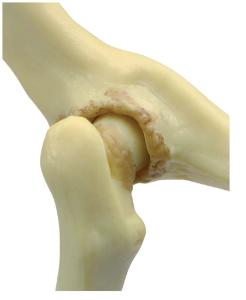 GPI Anatomicals® Feline Joints