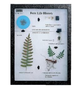 Fern Life History Riker Mount