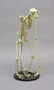 BoneClones® Gibbon Skeleton