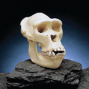 Somso® Gorilla Skull