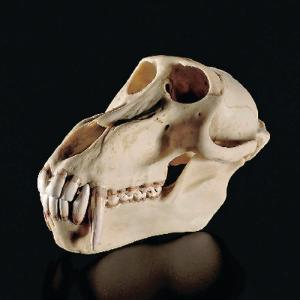 Somso® Baboon Skull