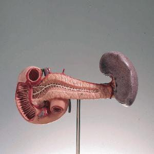 Somso® Pancreas, Spleen, and Duodenum Model
