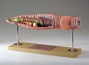 Somso® Earthworm Model