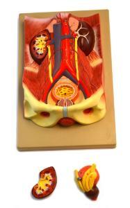 Eisco® Urinary System