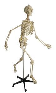 Rudiger® Physiology Skeleton