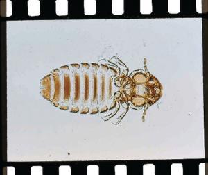 Trichodectes, Adult Slide