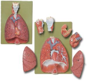 Somso® Thoracic Organs Model
