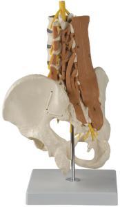 Rudiger® Lumbar Spine Musculature