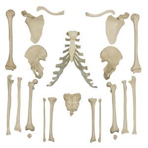 Rudiger® Individual Bones