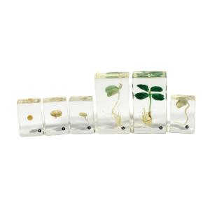 Bean germination plastomounts set of 6