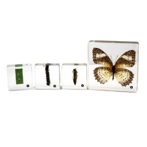 Butterfly life cycle set of 4