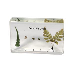 Fern life cycle plastomount