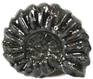 Fossil replica, Brancoceras species