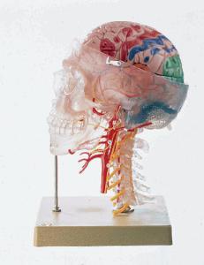 Somso® Neuroanatomy Head Model