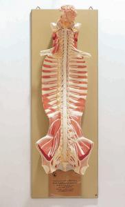 Somso® Central Nervous System Model