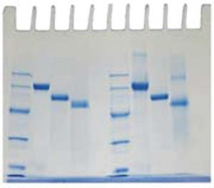 Determination of Protein Molecular Weight Kit