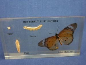 Butterfly Life Cycle Embedded Display
