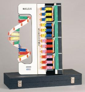 DNA-RNA-Protein Synthesis Model