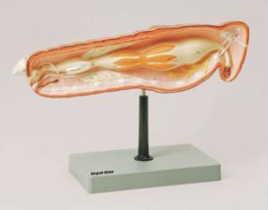Eisco® Locust Dissection Model