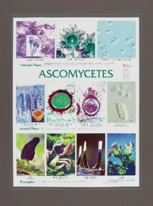 Biocam Fungal Microanatomy Posters