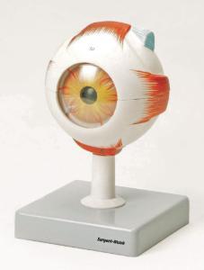 Eisco® Human Eye