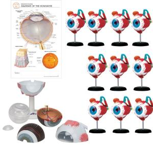 Eye models classroom bundle