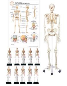 Skeleton models classroom bundle