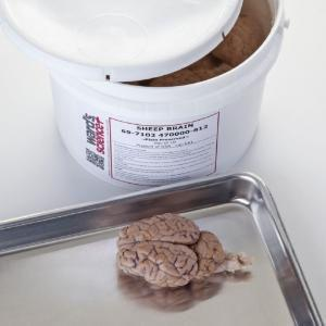 Extracted general dissection sheep brains