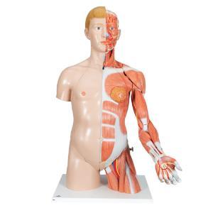 Model Deluxe Torso with Muscular