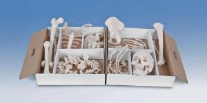 3B Scientific® Disarticulated Half Skeletons