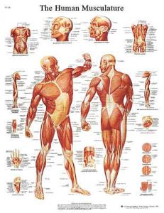 3B Scientific® Muscular System Chart