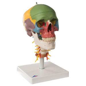Didactic Skull and Cervical Spine