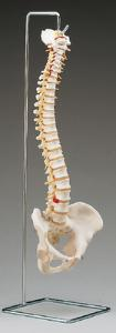 3B Scientific® Stand For Vertebral Column Models