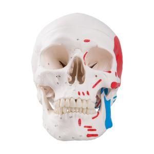 Classic Painted Human Skull