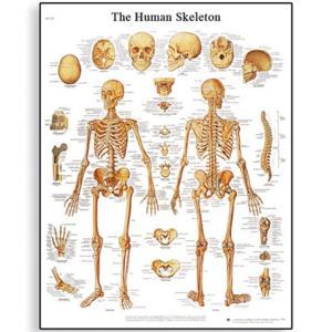 3B Scientific® Skeleton Chart