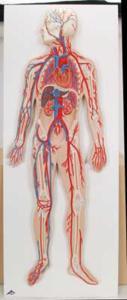 3B Scientific® Introductory Circulatory System