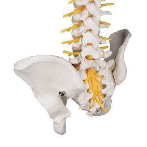 Deluxe Flexible Spine