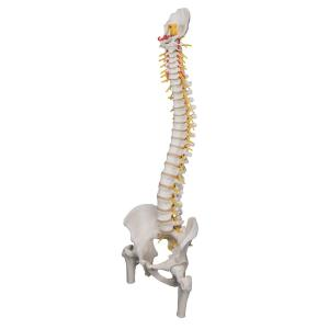 Flexible Spine with Femur Heads