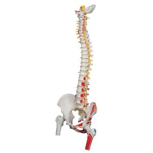 Painted Flexible Spine with Femur Heads
