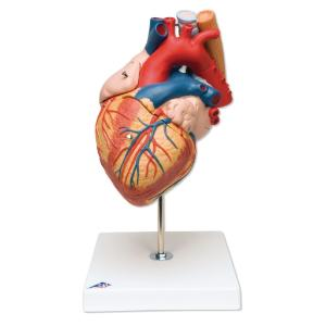 3B Scientific® Heart With Esophagus And Trachea