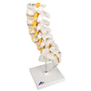 Lumbar Spinal Column