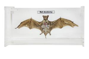 Bat anatomy museum mount