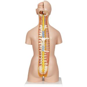 Deluxe Dual Sex Torso with Open Neck And Back