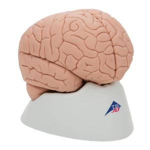Model Introductory Brain, 2-Parts