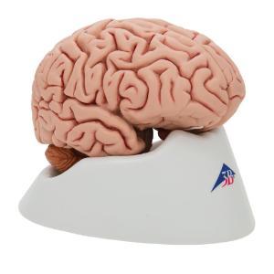 Model Classic Brain, 5 Parts