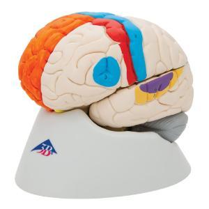 Model Neuro-Anatomical Brain, 8-Parts