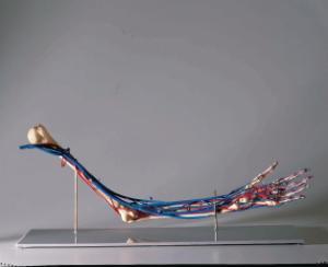 Vascular Arm Model