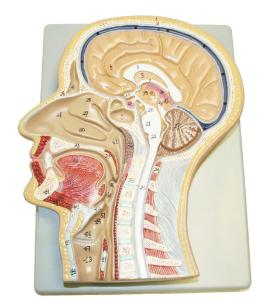 Walter® Sagittal Section Of The Head