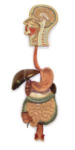 Walter® Digestive System